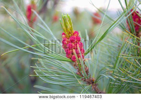 Pine Elfin With Purple Cones