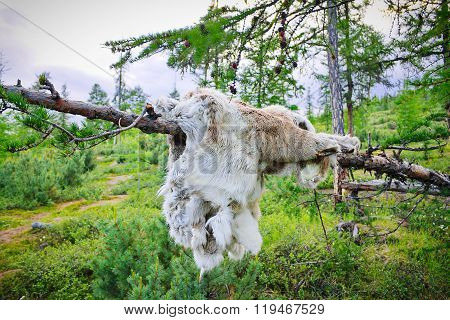 Reindeer Skin Hanging On A Tree