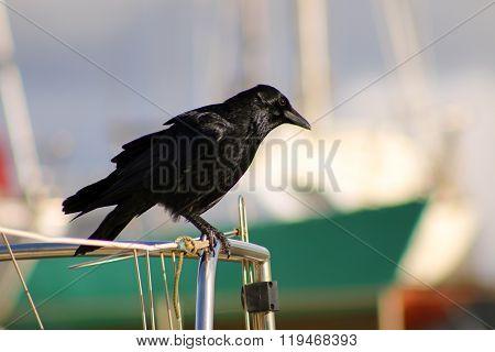 Harbour Crow