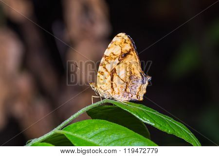 Common Jester Butterfly