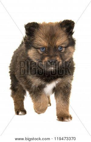 Cute puppy walking to you