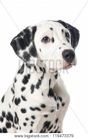 Cute dalmatian dog portrait