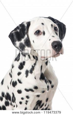 Cute dalmatian dog portrait