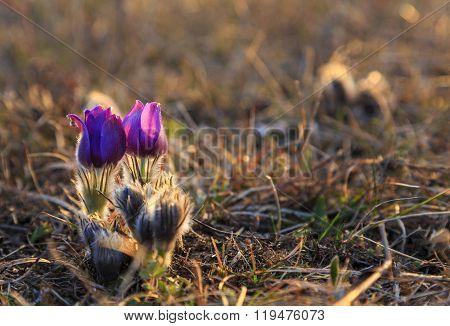 Pasque flower in focus