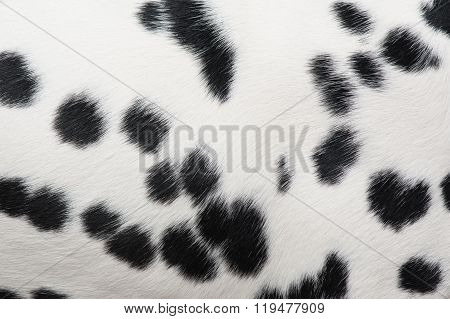 Dots pattern of a dalmatian