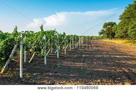 Vineyard field with vine willows and ground