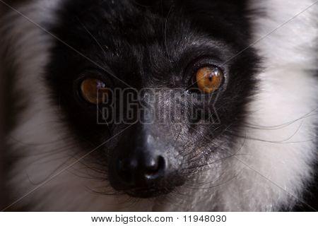 Black-an-white ruffed lemur