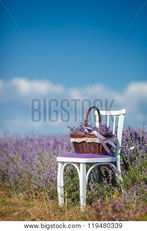 Fragrant blooming lavender in a basket on a lavender field