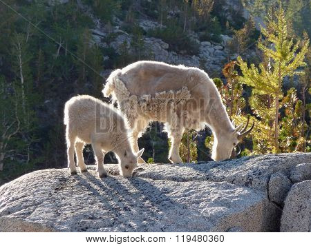 Mountain Goat Female And Kid On Granite Rock