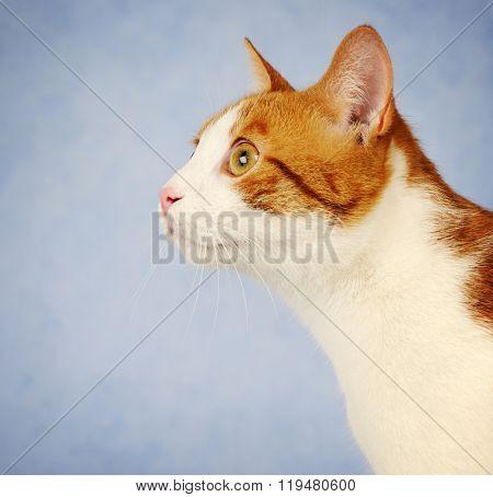red cat close up