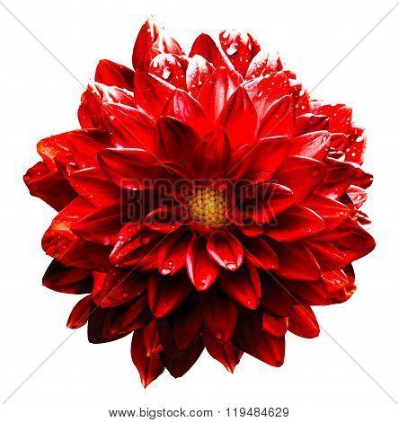 Surreal Wet Dark Chrome Red Flower Dahlia Macro Isolated On White