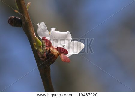 Sakura flower, close-up
