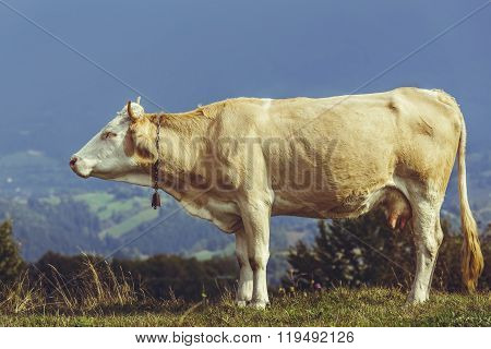 Cow With Bell On Neck