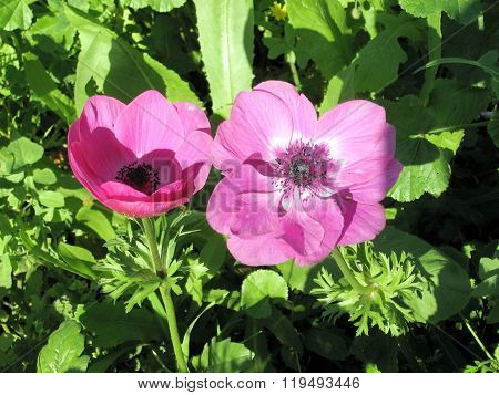 Ramat Gan Park The Pink Crown Anemone 2007