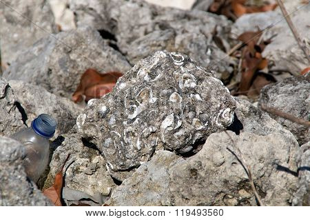 Rock With Fossilized Shells