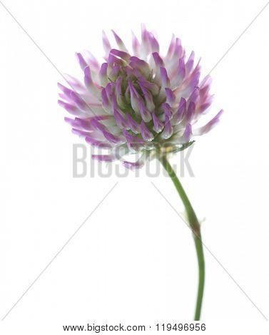 Close up  of  Clover flower isolated on white. Trifolium pratense