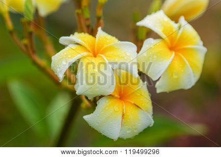 Plumeria flower with raindrops