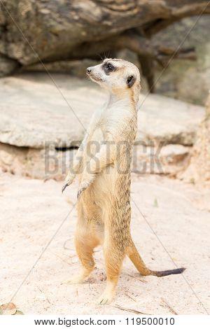 Meerkat Standing On The Sand
