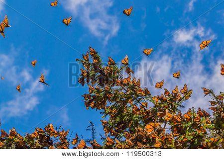Monarch Butterflies on tree branch in blue sky background,