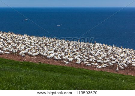 NortherGannet colony on Bonaventure Island