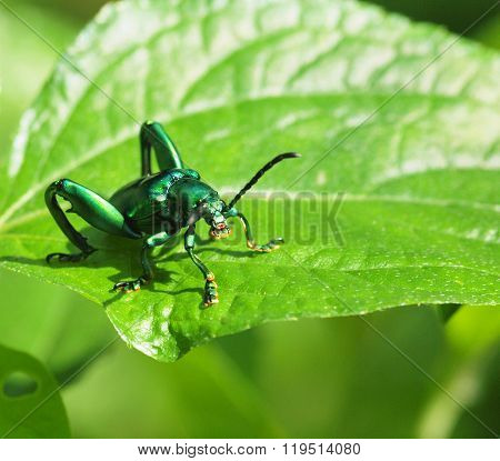 Jewel beetle, Metallic wood-boring beetle, Buprestid.