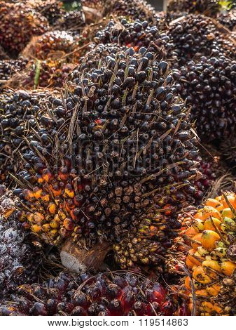 Palm Oil Fruits.