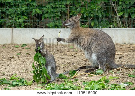 Red-necked Wallaby Baby Grazing