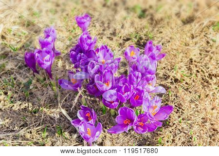 Several Crocus Vernus Against The Backdrop Of Dry Grass