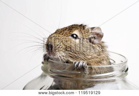 Hamster In Jar