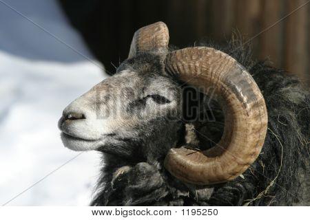 Gotland Sheep, Ram