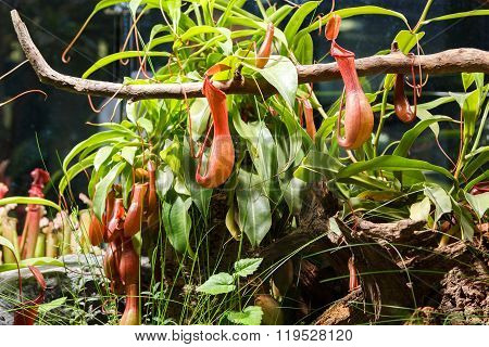 Carnivorous Plants In A Greenhouse On Blurred Background