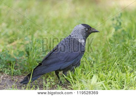 jackdaw among the green grass