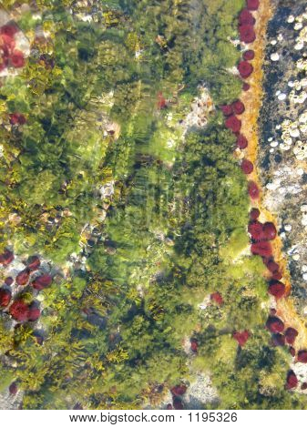 Sea Anemonies