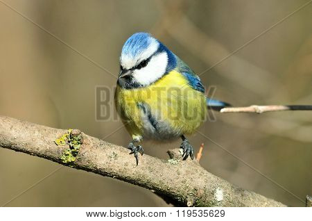 Ordinary blue tit, blue tit.