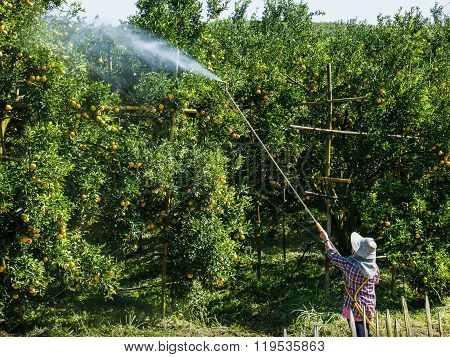 Worker Spray .fertilizer Or Insecticide On Oranges Tree.