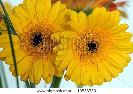 Two Yellow Gerberas