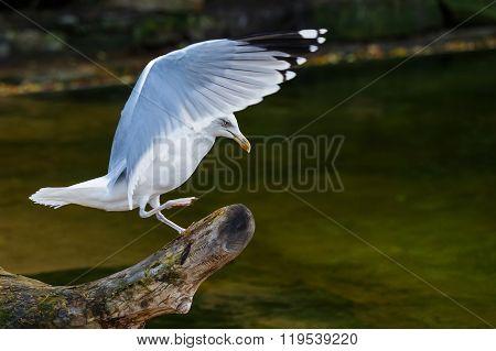 Beautiful Flying Seagull