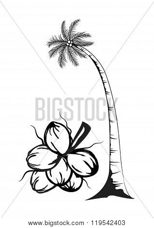 Coconut Tree And Fruits Of Coconut On White Background