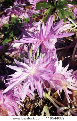 Colchicum autumnale 'Waterlilly'