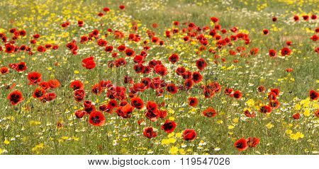 Panorama Red Poppy Flowers On The Field With Camomile