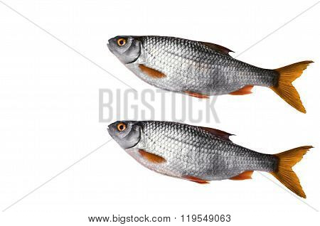 Crude River fish, lying on a white background.