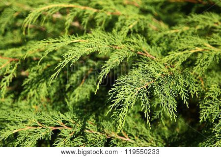 Branches Of An Evergreen Plant Thuja