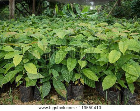 Coffee Seedlings Plant In A Nursery.