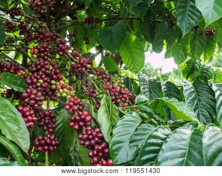 Coffee Seeds In A Plantation, Thailand.