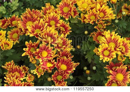 Chrysanthemum Beautiful In A Garden.