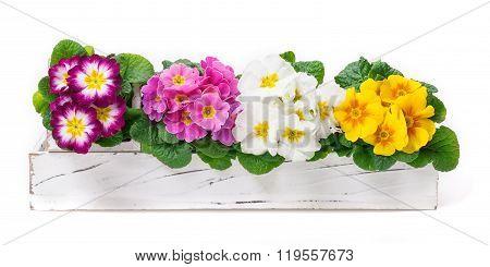 Primroses, Spring Decoration, Flower Decoration
