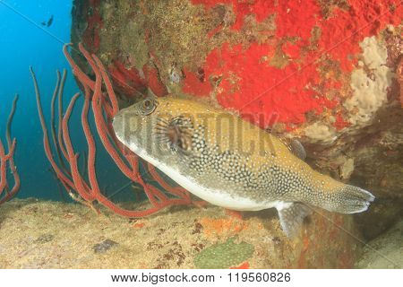 Bluespotted Puffer fish