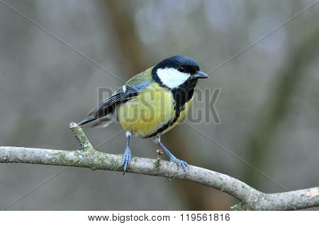 Great Tit sitting on a branch.