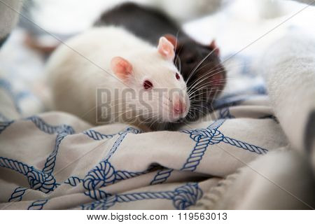 Two cute pet rats resting in a blanket