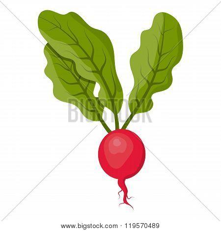 Vector illustration of radish
